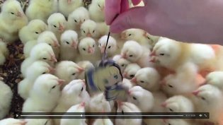 EVENT / This Brood of Chicks Have Something They Really Want to Get Across to Saber【Video】