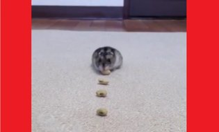 "Twitter Has ""Cute Competition"" and This Hamster is Winning with Amazing Vacuum Cleaner Impression"