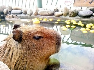 EVENT / Capybara Across Japan Ward Off the Sniffles by Bathing with Yuzu, Delivering Big Dose of Adorable