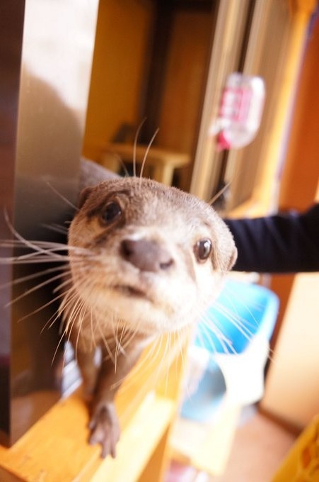 Play With Otters, Hedgehogs, and Lovebirds at Kobe's Otter Cafe!